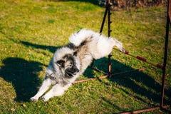 Keeshound, Keeshond, Keeshonden Dog German Spitz. Gray Keeshound, Keeshond, Keeshonden Dog German Spitz Wolfspitz dog training. Dog agility, dog sport royalty free stock photography