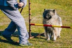 Keeshound, Keeshond, Keeshonden Dog German Spitz. Gray Keeshound, Keeshond, Keeshonden Dog German Spitz Wolfspitz dog training. Dog agility, dog sport royalty free stock images