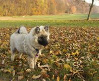 Keeshound puppy in autumn landscape. A cute purebred keeshound (German Wolfsspitz) playing in a rural autumn landscape Stock Photography