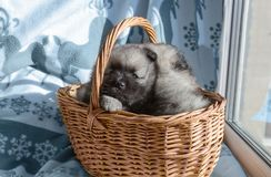 Keeskhond puppy in a basket stock photography