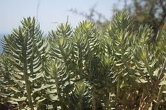 Kefalonia的,希腊尖刻的植物当地人 库存图片