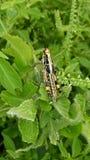 Keffi gräshoppa Arkivbild