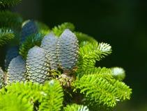 Kegel auf einem Pelzbaum Stockfotos