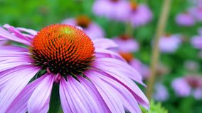 Kegel Blume, alias Echinacea, in einem Garten Stockfotografie