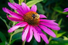 Kegel-Blume mit Blitz-Wanze Stockfotografie