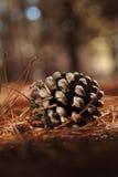 Kegel van een monterypijnboom stock fotografie