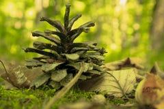 Kegel van een naaldboom Royalty-vrije Stock Foto