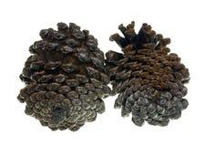 Kegel van Krimpijnboom stock fotografie