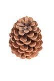 Kegel van pijnboom Royalty-vrije Stock Fotografie