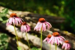 Kegelbloemen langs een Omheining Royalty-vrije Stock Afbeelding