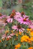 Kegelbloemen in Tuin Royalty-vrije Stock Foto