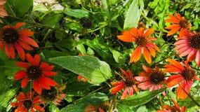 Kegelblume in der Spätsaisonblüte Stockfotografie