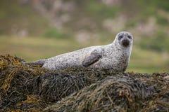 Kegelrobbe, die auf ein Bett des Kelps legt Stockbild
