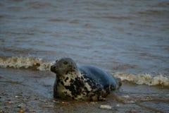 Kegelrobben, die auf Horsey Gap-Strand faulenzen stockfoto
