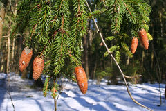 Kegels op een boom Royalty-vrije Stock Fotografie