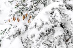 Kegels op een pijnboom Stock Foto's