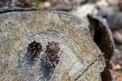 Kegels op een stomp in de bosboomzaden in een naaldtribune royalty-vrije stock foto