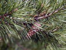 Kegels op een tak van een Kerstboom Royalty-vrije Stock Afbeelding