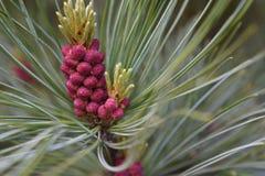 Kegels van het pijnboom de mannelijke stuifmeel en pijnboomnaalden stock fotografie