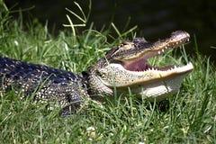 Kehliger Alligator Stockfotos