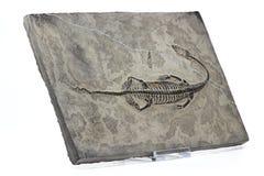 Keichousaurus hui. Found in Xingyi/ Guizhou (China) isolated on white background Royalty Free Stock Photos