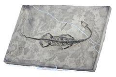 Keichousaurus hui. Found in Xingyi/ Guizhou (China) isolated on white background Royalty Free Stock Image