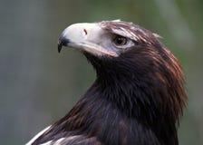 Keil-angebundener Eagle Closeup Lizenzfreie Stockfotos