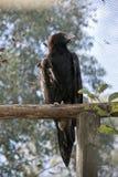 Keil angebundenes Eagle Lizenzfreies Stockfoto