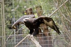 Keil angebundenes Eagle Lizenzfreie Stockfotografie