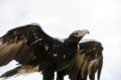 Keil angebundenes Eagle Stockbild