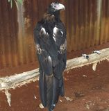Keil-Endstück Eagle stockfotografie