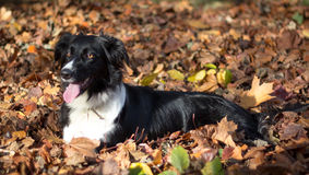Keila the Border Collie Royalty Free Stock Image
