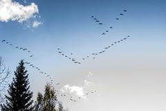 Keile von Gänsen fliegen südwärts in Herbst Lizenzfreies Stockbild