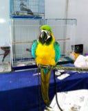 Keilschwanzsittich-gelber blauer Papagei stockbild