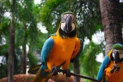 Keilschwanzsittich-Papagei lizenzfreie stockbilder
