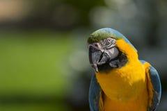 Keilschwanzsittich-Papagei Stockfoto