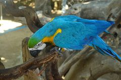 Keilschwanzsittich-Papagei Lizenzfreie Stockfotografie