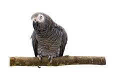 Keilschwanzsittich-Papagei lokalisiert auf weißem Hintergrund Lizenzfreies Stockbild