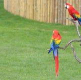 Keilschwanzsittich-Papageien Stockfotografie