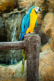 Keilschwanzsittich-Vogel stockfoto