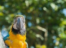 Keilschwanzsittich-Vogel Lizenzfreie Stockbilder