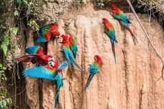 Keilschwanzsittichlehm leckt peruanischen Amazonas-Dschungel Madre de Dios Peru Lizenzfreie Stockfotografie
