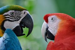 Keilschwanzsittichpaare haben ein Gespräch, das Freundschaft, Glück und Freiheit symbolisiert lizenzfreies stockbild