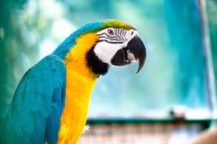 Keilschwanzsittichpapagei im wilden Dschungel essend und an der Kamera lächelnd Lizenzfreie Stockfotos