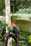 Keilschwanzsittichpapagei in Nationalpark Madidi stockfotos