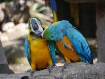 Keilschwanzsittichvögel Lizenzfreie Stockbilder