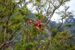 Keilschwanzsittichvögel, die in einem Baum in einem Regenwald spielen Stockbild