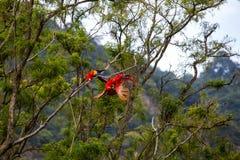 Keilschwanzsittichvögel, die in einem Baum im Dschungel spielen Lizenzfreie Stockfotografie