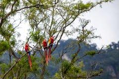 Keilschwanzsittichvögel in einem Baum im Dschungel Stockbilder