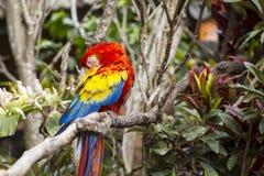 Keilschwanzsittichvogel, der beim Sitzen in einem Baum sich pflegt Lizenzfreies Stockfoto